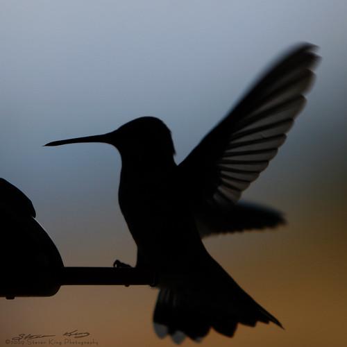 sunset color bird silhouette canon king hummingbird feeder steven