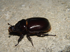 japanese rhinoceros beetle(0.0), arthropod(1.0), scarabs(1.0), animal(1.0), invertebrate(1.0), insect(1.0), macro photography(1.0), fauna(1.0), dung beetle(1.0), close-up(1.0), leaf beetle(1.0), ground beetle(1.0),