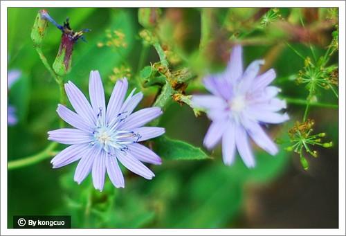 内蒙古植物照片菊科,很像苦菜