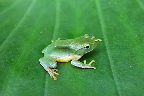 20B5台北樹蛙