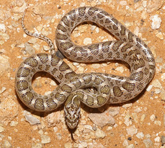 SE Texas Snakes http://quizlet.com/18308407/snakes-of-se-texas-flash-cards/