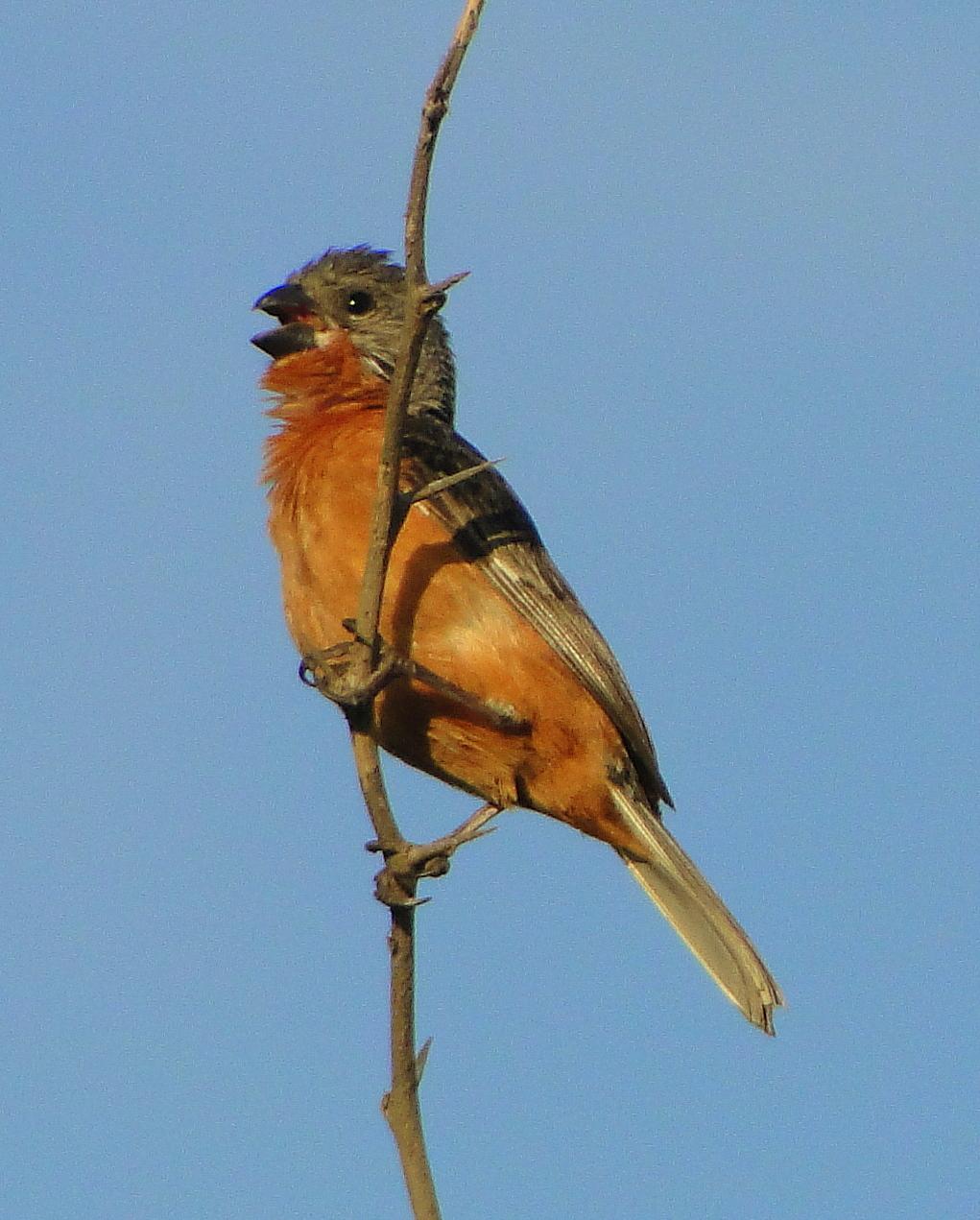 Imagen de una de las aves del Quindio: Espiguero ladrillo (Sporophila Minuta)