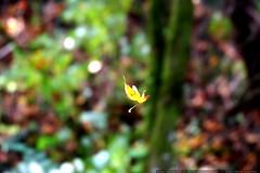 falling leaf    MG 8548