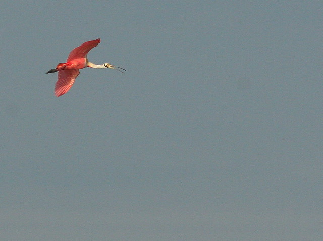 Spoonbill in Flight 20091227