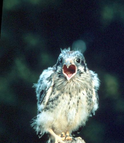 American kestrel chick