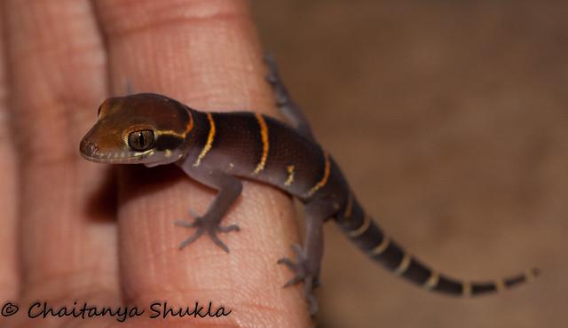 Geckoella deccanensis (1)