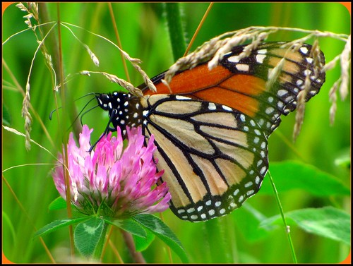 ontario canada londonontario monarchbutterfly