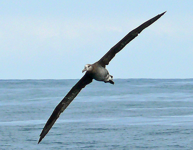 Black-footed Albatross (Pheobastria nigripes)