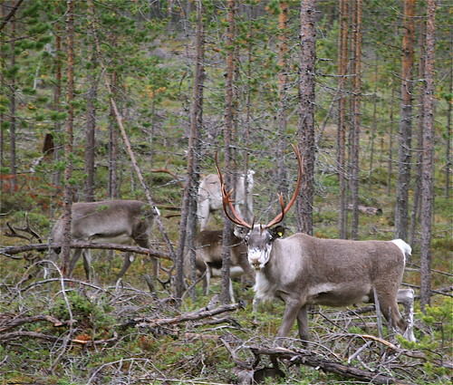 Reindeer (Poro) in Northern Finland