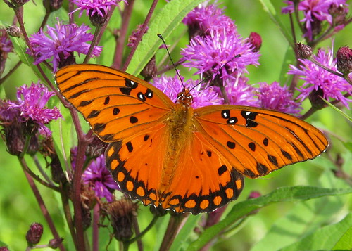 Gulf Fritillary posing for me in the ironweeds