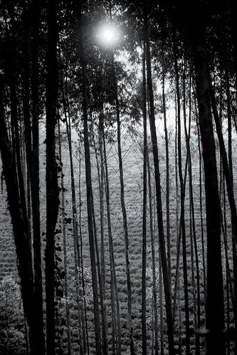 africa trees light sunset bw field estate hill malawi tall slope lujeri