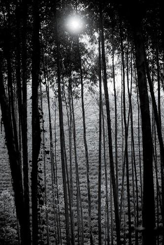 africa trees light sunset bw field estate hill malawi tall slope lujeri