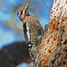 Yellow-bellied Sapsucker - Photo (c) Jerry Oldenettel, some rights reserved (CC BY-NC-SA)