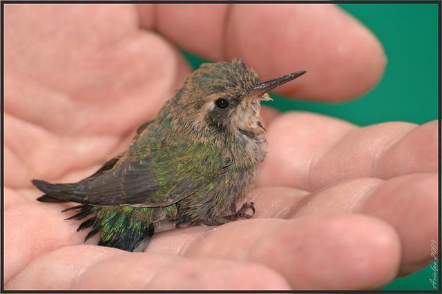 Baby hummingbird - a photo on Flickriver
