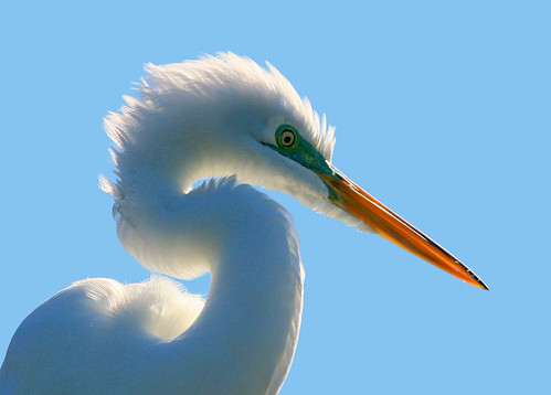 white dallas texas backlit egret greategret ardeaalba beautifulworldchallenges utswmcrookery