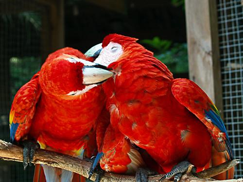 Scarlet Macaw - Macaw Mountain Bird Park - Copan Ruinas, Honduras