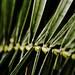 Rama palmera