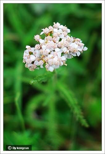 内蒙古植物照片-菊科蓍属亚洲蓍