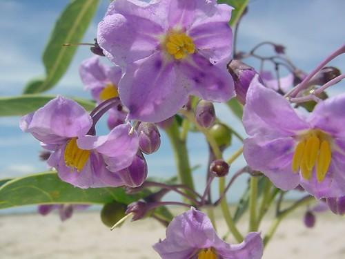 Solanum glaucophyllum by Marcia Stefani