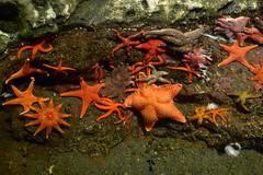 coral reef, animal, marine biology, invertebrate, marine invertebrates, fauna, starfish,