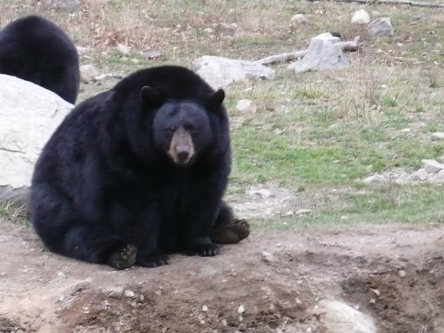 Big chubby bears