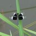 Pied Paddy Skimmer (Neurothemis tulia)