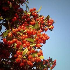 shrub(0.0), berry(0.0), flower(0.0), plant(0.0), produce(0.0), food(0.0), schisandra(0.0), rose hip(0.0), evergreen(1.0), hippophae(1.0), flora(1.0), fruit(1.0), rowan(1.0),