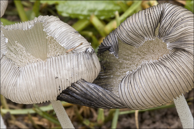 Coprinopsis lagopus_10 | Flickr - Photo Sharing!