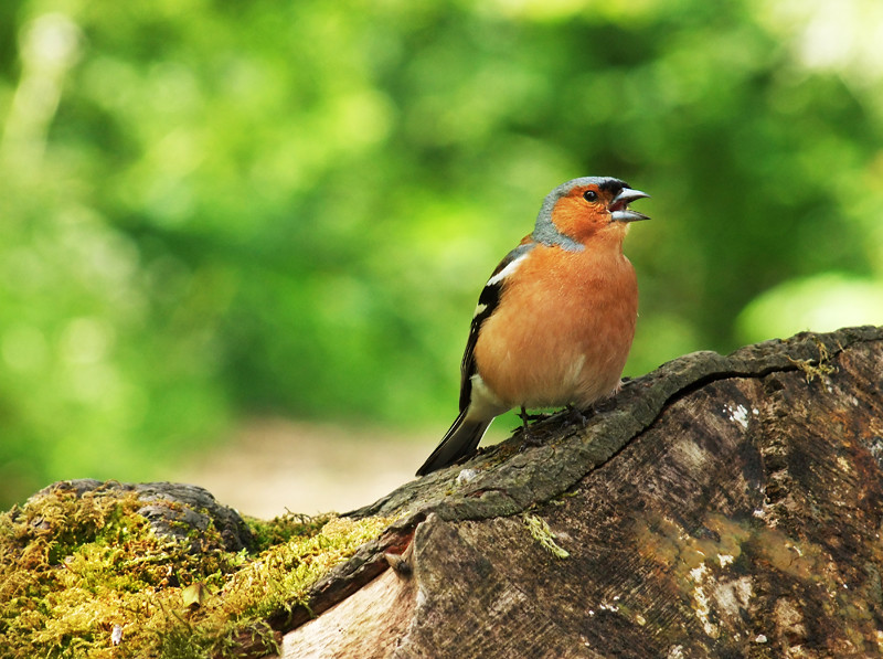 chaffinch dalby forest billy clapham bird