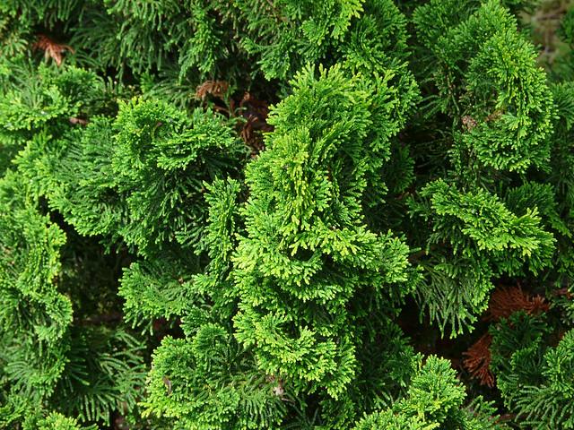 chamaecyparis obtusa 39 nana gracilis 39 flickr photo sharing. Black Bedroom Furniture Sets. Home Design Ideas