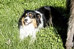 dog breed, animal, dog, mammal, miniature australian shepherd, entlebucher mountain dog, bernese mountain dog,