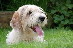 puppy(0.0), glen of imaal terrier(0.0), dandie dinmont terrier(0.0), irish soft-coated wheaten terrier(0.0), goldendoodle(0.0), dog breed(1.0), animal(1.0), dog(1.0), schnoodle(1.0), petit basset griffon vendã©en(1.0), polish lowland sheepdog(1.0), tibetan terrier(1.0), havanese(1.0), spinone italiano(1.0), catalan sheepdog(1.0), cockapoo(1.0), west highland white terrier(1.0), carnivoran(1.0),