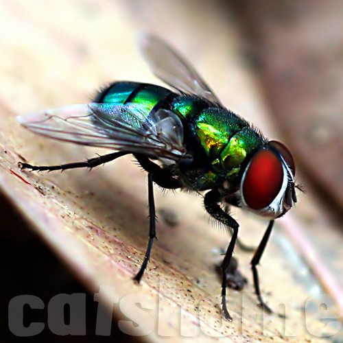 MACRO PHOTOGRAPHS BY CATSHOME :  THE FLY