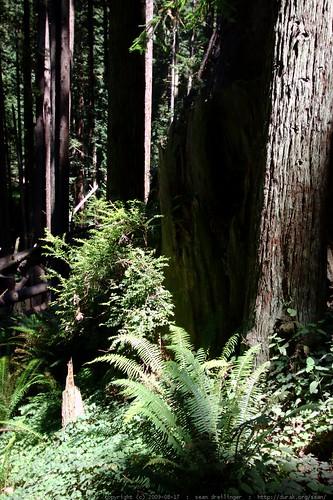 walking in the humboldt redwoods    MG 0991