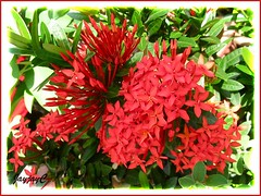Glorious flower clusters of Ixora coccinea 'Dwarf Red' in our garden