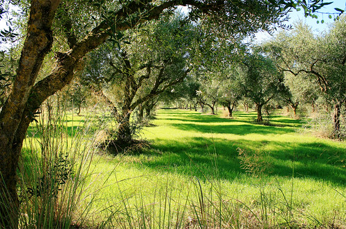 Olive grove_IMG_3158_By Phil Ovens