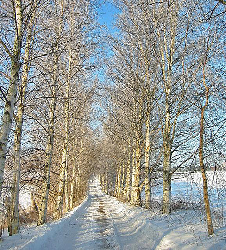 Small road with birch trees
