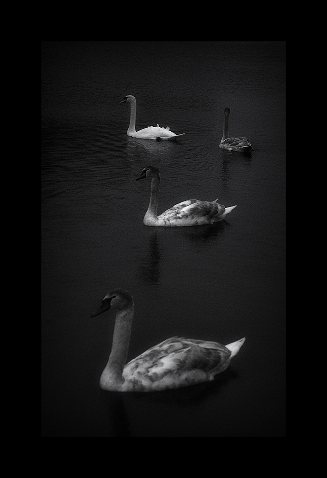 Photography: Cygnets and Swan by Nicholas M Vivian
