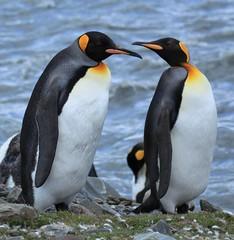 King Penguins at St. Andrews Bay, South Georgia
