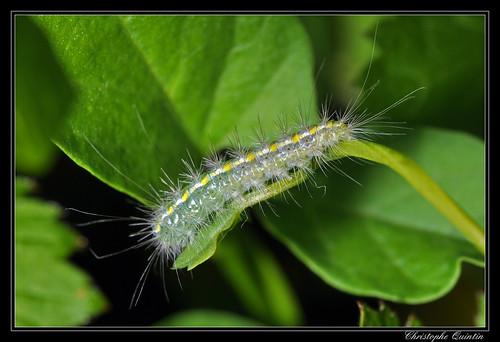 Chenille du Ptérophore blanc (Pterophorus pentadactyla)
