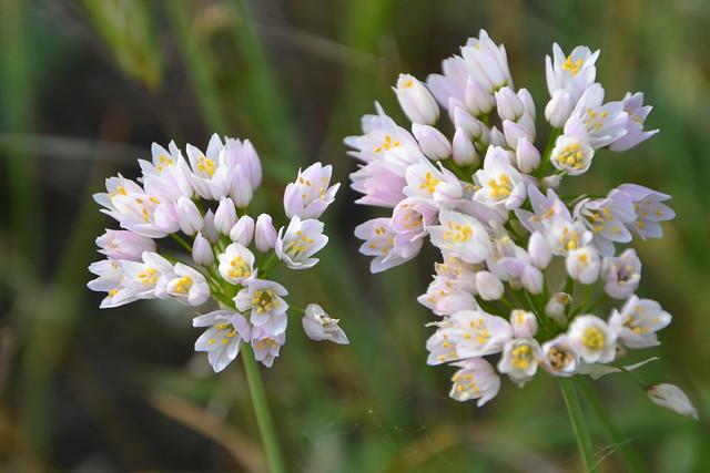 Allium roseum - ail rose 32914683452_e35b8c3a47_z