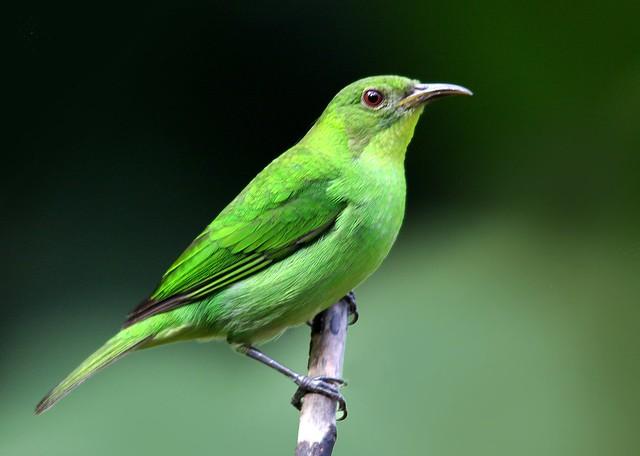 Saí-verde-fêmea - Green Honeycreeper Female - (Chlorophanes spiza)