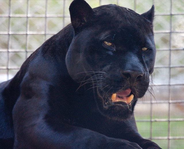 Meet Orson the Black Jaguar