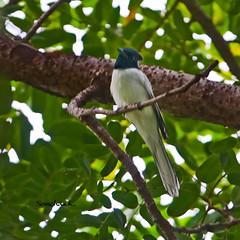 แซวสวรรค์ Asian Paradise-flycatcher