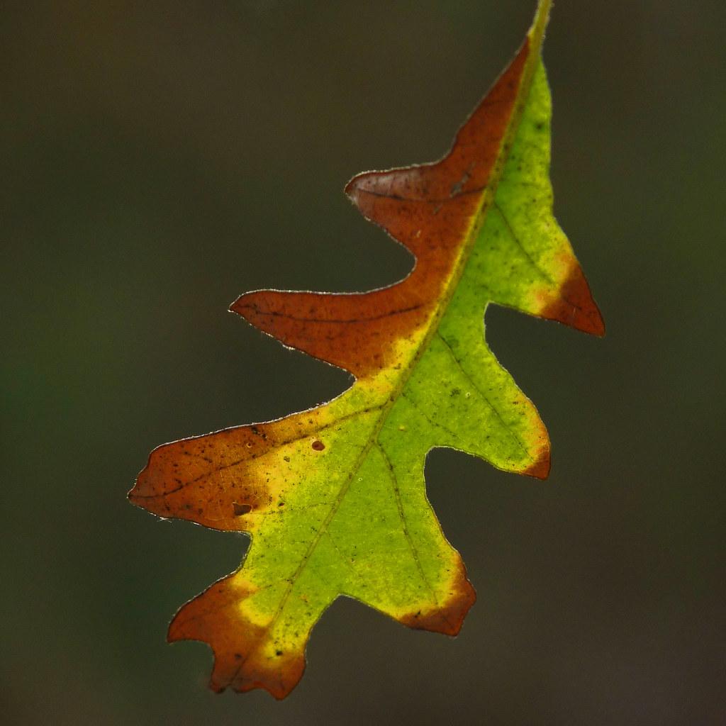 Autumn colours | Bur/Burr Oak is perhaps my favourite tree