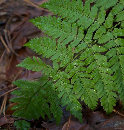 Survey of Seedless Vascular Plants flashcards | Quizlet