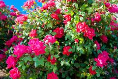 rosa rubiginosa(0.0), rosa rugosa(0.0), rosa wichuraiana(1.0), annual plant(1.0), shrub(1.0), garden roses(1.0), rosa 㗠centifolia(1.0), floribunda(1.0), flower(1.0), rosa gallica(1.0), plant(1.0),