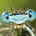 Platycnemis pennipes - White-legged Damselfly