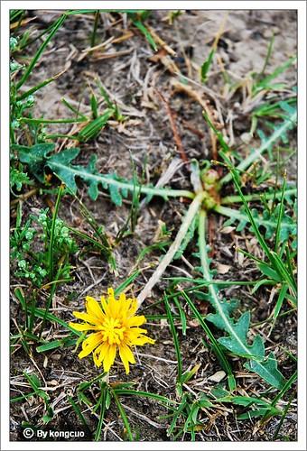 内蒙古植物照片-菊科蒲公英属蒲公英