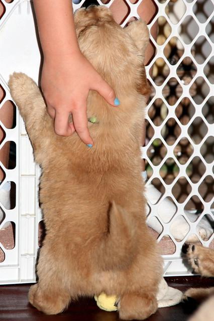 Tiny Cute Puppy Sweet Golden Retriever